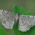 Margajuostis sprindžius - Hydria undulata | Fotografijos autorius : Gintautas Steiblys | © Macrogamta.lt | Šis tinklapis priklauso bendruomenei kuri domisi makro fotografija ir fotografuoja gyvąjį makro pasaulį.