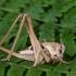 Margasis žiogas - Decticus verrucivorus, patelė   Fotografijos autorius : Vaida Paznekaitė   © Macrogamta.lt   Šis tinklapis priklauso bendruomenei kuri domisi makro fotografija ir fotografuoja gyvąjį makro pasaulį.
