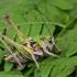 Margasis žiogas - Decticus verrucivorus, patinėlis | Fotografijos autorius : Vaida Paznekaitė | © Macrogamta.lt | Šis tinklapis priklauso bendruomenei kuri domisi makro fotografija ir fotografuoja gyvąjį makro pasaulį.