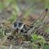 Margasis žiogas - Decticus verrucivorus | Fotografijos autorius : Gintautas Steiblys | © Macrogamta.lt | Šis tinklapis priklauso bendruomenei kuri domisi makro fotografija ir fotografuoja gyvąjį makro pasaulį.