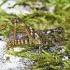 Margasis ietinukas - Myrmeleotettix maculatus   Fotografijos autorius : Vaida Paznekaitė   © Macrogamta.lt   Šis tinklapis priklauso bendruomenei kuri domisi makro fotografija ir fotografuoja gyvąjį makro pasaulį.