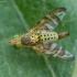 Margasparnė - Chaetostomella cylindrica ♀ | Fotografijos autorius : Žilvinas Pūtys | © Macrogamta.lt | Šis tinklapis priklauso bendruomenei kuri domisi makro fotografija ir fotografuoja gyvąjį makro pasaulį.