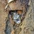 Margoji žieviablakė - Aradus depressus, nimfa? | Fotografijos autorius : Kazimieras Martinaitis | © Macrogamta.lt | Šis tinklapis priklauso bendruomenei kuri domisi makro fotografija ir fotografuoja gyvąjį makro pasaulį.
