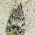 Margoji dipleurina - Eudonia [=Dipleurina] lacustrata | Fotografijos autorius : Vidas Brazauskas | © Macrogamta.lt | Šis tinklapis priklauso bendruomenei kuri domisi makro fotografija ir fotografuoja gyvąjį makro pasaulį.