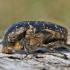 Marmurinis auksavabalis – Protaetia marmorata   Fotografijos autorius : Agnė Našlėnienė   © Macrogamta.lt   Šis tinklapis priklauso bendruomenei kuri domisi makro fotografija ir fotografuoja gyvąjį makro pasaulį.