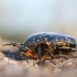Marmurinis auksavabalis - Protaetia marmorata | Fotografijos autorius : Agnė Našlėnienė | © Macrogamta.lt | Šis tinklapis priklauso bendruomenei kuri domisi makro fotografija ir fotografuoja gyvąjį makro pasaulį.