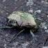 Marmurinis auksavabalis - Protaetia marmorata | Fotografijos autorius : Romas Ferenca | © Macrogamta.lt | Šis tinklapis priklauso bendruomenei kuri domisi makro fotografija ir fotografuoja gyvąjį makro pasaulį.