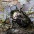 Marmurinis auksavabalis - Protaetia lugubris | Fotografijos autorius : Zita Gasiūnaitė | © Macrogamta.lt | Šis tinklapis priklauso bendruomenei kuri domisi makro fotografija ir fotografuoja gyvąjį makro pasaulį.