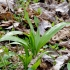 Meškinis česnakas - Allium ursinum | Fotografijos autorius : Romas Ferenca | © Macrogamta.lt | Šis tinklapis priklauso bendruomenei kuri domisi makro fotografija ir fotografuoja gyvąjį makro pasaulį.