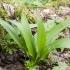 Meškinis česnakas - Allium ursinum | Fotografijos autorius : Kazimieras Martinaitis | © Macrogamta.lt | Šis tinklapis priklauso bendruomenei kuri domisi makro fotografija ir fotografuoja gyvąjį makro pasaulį.