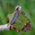 Medinė skydblakė - Palomena prasina | Fotografijos autorius : Romas Ferenca | © Macrogamta.lt | Šis tinklapis priklauso bendruomenei kuri domisi makro fotografija ir fotografuoja gyvąjį makro pasaulį.