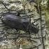 Melandrya dubia - Lazdyninis niūravabalis | Fotografijos autorius : Kazimieras Martinaitis | © Macrogamta.lt | Šis tinklapis priklauso bendruomenei kuri domisi makro fotografija ir fotografuoja gyvąjį makro pasaulį.