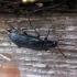 Melandrya dubia - Lazdyninis niūravabalis | Fotografijos autorius : Vitalii Alekseev | © Macrogamta.lt | Šis tinklapis priklauso bendruomenei kuri domisi makro fotografija ir fotografuoja gyvąjį makro pasaulį.
