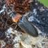 Melsvasparnis smulkiaspragšis - Cardiophorus ruficollis | Fotografijos autorius : Kazimieras Martinaitis | © Macrogamta.lt | Šis tinklapis priklauso bendruomenei kuri domisi makro fotografija ir fotografuoja gyvąjį makro pasaulį.