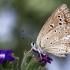 Karpytasparnis melsvys - Polyommatus daphnis, patelė | Fotografijos autorius : Vaida Paznekaitė | © Macrogamta.lt | Šis tinklapis priklauso bendruomenei kuri domisi makro fotografija ir fotografuoja gyvąjį makro pasaulį.