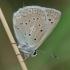 Karpytasparnis melsvys - Polyommatus (Meleageria) daphnis | Fotografijos autorius : Deividas Makavičius | © Macrogamta.lt | Šis tinklapis priklauso bendruomenei kuri domisi makro fotografija ir fotografuoja gyvąjį makro pasaulį.