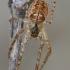 Mengės skylūnėlis - Metellina mengei | Fotografijos autorius : Gintautas Steiblys | © Macrogamta.lt | Šis tinklapis priklauso bendruomenei kuri domisi makro fotografija ir fotografuoja gyvąjį makro pasaulį.