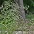 Miškinė dirsuolė - Bromopsis benekenii | Fotografijos autorius : Kęstutis Obelevičius | © Macrogamta.lt | Šis tinklapis priklauso bendruomenei kuri domisi makro fotografija ir fotografuoja gyvąjį makro pasaulį.