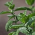 Miškinė mėta - Mentha longifolia | Fotografijos autorius : Kęstutis Obelevičius | © Macrogamta.lt | Šis tinklapis priklauso bendruomenei kuri domisi makro fotografija ir fotografuoja gyvąjį makro pasaulį.