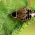 Miškinis prūsokas - Ectobius sylvestris   Fotografijos autorius : Ramunė Vakarė   © Macrogamta.lt   Šis tinklapis priklauso bendruomenei kuri domisi makro fotografija ir fotografuoja gyvąjį makro pasaulį.