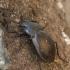 Miškinis puošniažygis - Carabus nemoralis | Fotografijos autorius : Vidas Brazauskas | © Macrogamta.lt | Šis tinklapis priklauso bendruomenei kuri domisi makro fotografija ir fotografuoja gyvąjį makro pasaulį.