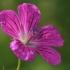 Miškinis snaputis - Geranium sylvaticum | Fotografijos autorius : Gintautas Steiblys | © Macrogamta.lt | Šis tinklapis priklauso bendruomenei kuri domisi makro fotografija ir fotografuoja gyvąjį makro pasaulį.