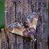 Miltinis ugniukas - Pyralis farinalis | Fotografijos autorius : Romas Ferenca | © Macrogamta.lt | Šis tinklapis priklauso bendruomenei kuri domisi makro fotografija ir fotografuoja gyvąjį makro pasaulį.