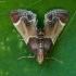 Miltinis ugniukas - Pyralis farinalis | Fotografijos autorius : Žilvinas Pūtys | © Macrogamta.lt | Šis tinklapis priklauso bendruomenei kuri domisi makro fotografija ir fotografuoja gyvąjį makro pasaulį.