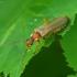 Minkštavabalis - Podabrus alpinus | Fotografijos autorius : Romas Ferenca | © Macrogamta.lt | Šis tinklapis priklauso bendruomenei kuri domisi makro fotografija ir fotografuoja gyvąjį makro pasaulį.