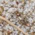 Mitravabalis - Anthicus bimaculatus | Fotografijos autorius : Kazimieras Martinaitis | © Macrogamta.lt | Šis tinklapis priklauso bendruomenei kuri domisi makro fotografija ir fotografuoja gyvąjį makro pasaulį.