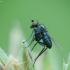 Ilgakojė muselė - Chrysotus laesus | Fotografijos autorius : Vidas Brazauskas | © Macrogamta.lt | Šis tinklapis priklauso bendruomenei kuri domisi makro fotografija ir fotografuoja gyvąjį makro pasaulį.