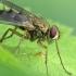 Dygliamusė - Dexiosoma caninum   Fotografijos autorius : Vidas Brazauskas   © Macrogamta.lt   Šis tinklapis priklauso bendruomenei kuri domisi makro fotografija ir fotografuoja gyvąjį makro pasaulį.