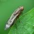 Musė - Opomyza germinationis   Fotografijos autorius : Vidas Brazauskas   © Macrogamta.lt   Šis tinklapis priklauso bendruomenei kuri domisi makro fotografija ir fotografuoja gyvąjį makro pasaulį.