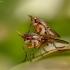 Sraigžudė - Limnia unguicornis   Fotografijos autorius : Tomas Ruginis   © Macrogamta.lt   Šis tinklapis priklauso bendruomenei kuri domisi makro fotografija ir fotografuoja gyvąjį makro pasaulį.