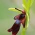 Musinis ofris - Ophrys insectifera | Fotografijos autorius : Gintautas Steiblys | © Macrogamta.lt | Šis tinklapis priklauso bendruomenei kuri domisi makro fotografija ir fotografuoja gyvąjį makro pasaulį.