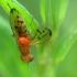 Musė - Opomyza florum | Fotografijos autorius : Vidas Brazauskas | © Macrogamta.lt | Šis tinklapis priklauso bendruomenei kuri domisi makro fotografija ir fotografuoja gyvąjį makro pasaulį.