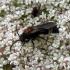Europinė aksomvapsvė - Mutilla europaea , patinas | Fotografijos autorius : Vitalii Alekseev | © Macrogamta.lt | Šis tinklapis priklauso bendruomenei kuri domisi makro fotografija ir fotografuoja gyvąjį makro pasaulį.