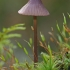 Šalmabudė - Mycena purpureofusca | Fotografijos autorius : Gintautas Steiblys | © Macrogamta.lt | Šis tinklapis priklauso bendruomenei kuri domisi makro fotografija ir fotografuoja gyvąjį makro pasaulį.