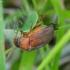 Naktinis grambuoliukas - Serica brunnea | Fotografijos autorius : Romas Ferenca | © Macrogamta.lt | Šis tinklapis priklauso bendruomenei kuri domisi makro fotografija ir fotografuoja gyvąjį makro pasaulį.