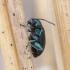 Nakvišinė didspragė - Altica oleracea ♀   Fotografijos autorius : Romas Ferenca   © Macrogamta.lt   Šis tinklapis priklauso bendruomenei kuri domisi makro fotografija ir fotografuoja gyvąjį makro pasaulį.