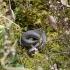 Geltonskruostis žaltys - Natrix natrix | Fotografijos autorius : Jogaila Mackevičius | © Macrogamta.lt | Šis tinklapis priklauso bendruomenei kuri domisi makro fotografija ir fotografuoja gyvąjį makro pasaulį.