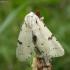 Baltasis strėlinukas - Acronicta leporina | Fotografijos autorius : Vytautas Gluoksnis | © Macrogamta.lt | Šis tinklapis priklauso bendruomenei kuri domisi makro fotografija ir fotografuoja gyvąjį makro pasaulį.