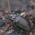 Mauražygis - Nebria brevicollis  | Fotografijos autorius : Gintautas Steiblys | © Macrogamta.lt | Šis tinklapis priklauso bendruomenei kuri domisi makro fotografija ir fotografuoja gyvąjį makro pasaulį.