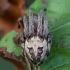Nendrinis žnypliavoris - Larinioides cornutus | Fotografijos autorius : Žilvinas Pūtys | © Macrogamta.lt | Šis tinklapis priklauso bendruomenei kuri domisi makro fotografija ir fotografuoja gyvąjį makro pasaulį.