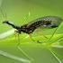 Kupriukas - Raphidia sp. | Fotografijos autorius : Ramunė Vakarė | © Macrogamta.lt | Šis tinklapis priklauso bendruomenei kuri domisi makro fotografija ir fotografuoja gyvąjį makro pasaulį.