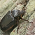 Niūraspalvis auksavabalis - Osmoderma barnabita | Fotografijos autorius : Gintautas Steiblys | © Macrogamta.lt | Šis tinklapis priklauso bendruomenei kuri domisi makro fotografija ir fotografuoja gyvąjį makro pasaulį.