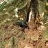 Niūraspalvis auksavabalis - Osmoderma barnabita   Fotografijos autorius : Vitalii Alekseev   © Macrogamta.lt   Šis tinklapis priklauso bendruomenei kuri domisi makro fotografija ir fotografuoja gyvąjį makro pasaulį.