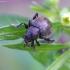 Ožkarožinis nakvišinukas - Bromius obscurus | Fotografijos autorius : Romas Ferenca | © Macrogamta.lt | Šis tinklapis priklauso bendruomenei kuri domisi makro fotografija ir fotografuoja gyvąjį makro pasaulį.