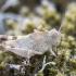 Oedipoda caerulescens - Mėlynsparnis tarkšlys, nimfa | Fotografijos autorius : Kazimieras Martinaitis | © Macrogamta.lt | Šis tinklapis priklauso bendruomenei kuri domisi makro fotografija ir fotografuoja gyvąjį makro pasaulį.