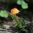 Oranžinė laibūnėlė - Rickenella fibula | Fotografijos autorius : Vytautas Gluoksnis | © Macrogamta.lt | Šis tinklapis priklauso bendruomenei kuri domisi makro fotografija ir fotografuoja gyvąjį makro pasaulį.